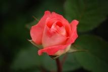 rose-591087_960_720.jpg